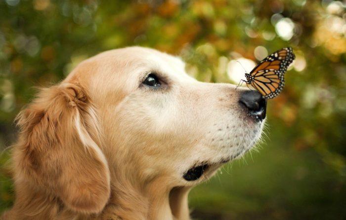 Вирус герпеса собак – это вирусное заболевание, поражающее репродуктивные органы взрослых животных. Инфицирование вирусом герпеса у взрослых собак обычно не вызывает каких-либо симптомов,