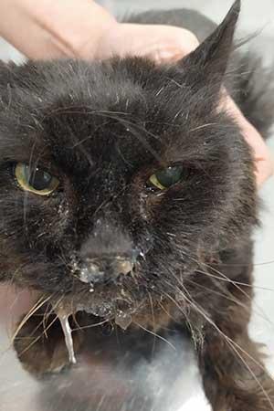 Инфекционный-ринотрахеит-кошек-1