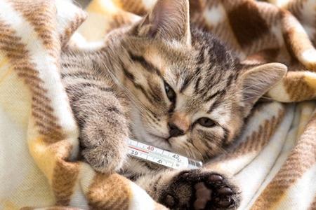 Инфекционный ринотрахеит кошек