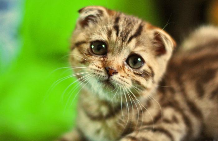 Кальцивироз кошек (кальцивирусная инфекция)