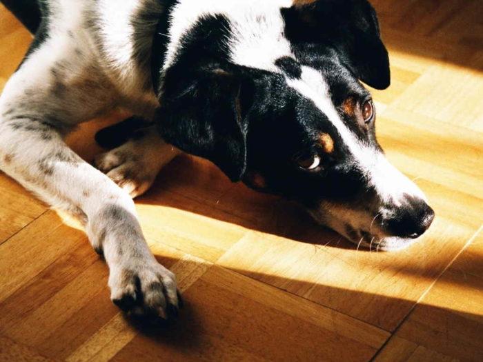 Себорейный дерматит у собак