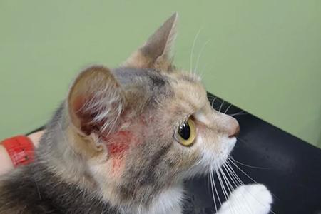 Экзема-кошек