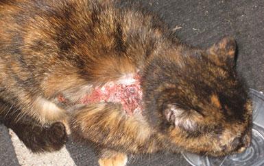 Экзема-у-кошек-симптомы