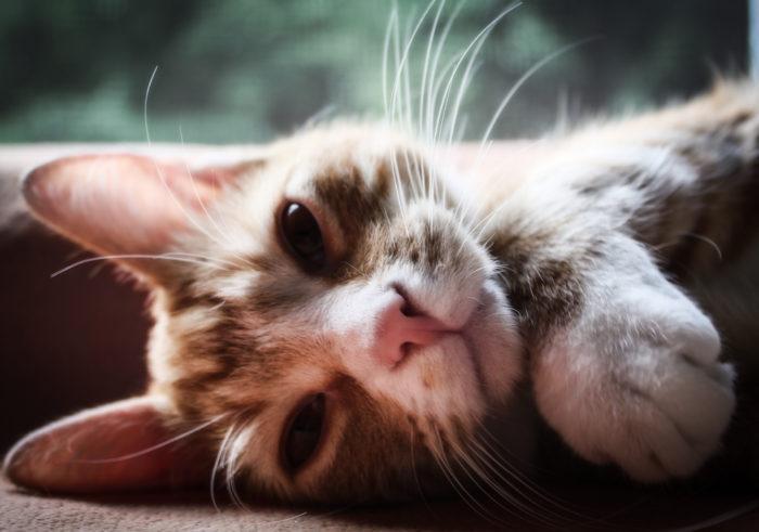 Инфекционный перитонит у кошек (ФИП)