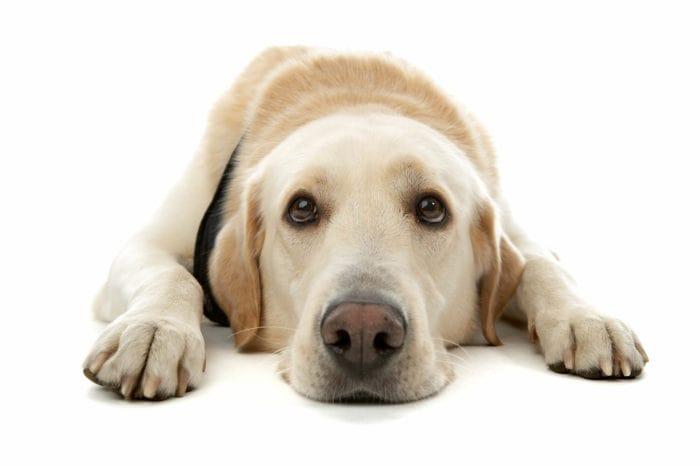 Межпальцевый дерматит собак