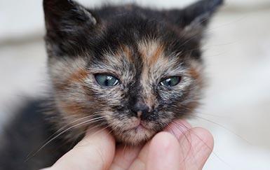 Оценка эффективности препарата Форвет в комплексной терапии инфекционного ринотрахеита кошек