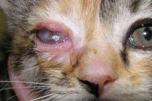 Хламидиоз-у-кошек