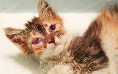 Хламидиоз-у-кошек-возбудитель-болезни