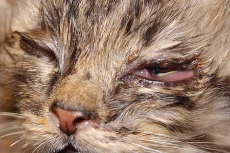 Микоплазмоз-у-кошек