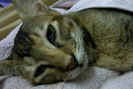 Панлейкопения (кошачья чумка)