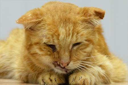 Вирус-иммунодефицита-у-кошек-(ВИК)