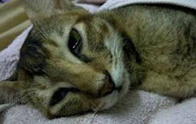 Вирусная-лейкемия-кошек-диагностика