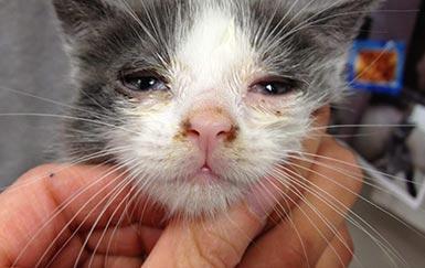 Иммуномодулятор Форвет при герпесвирусном ринотрахеите кошек
