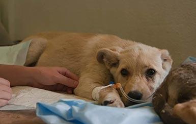 Лечение препаратом Неовит собак со спонтанными вирусными инфекциями