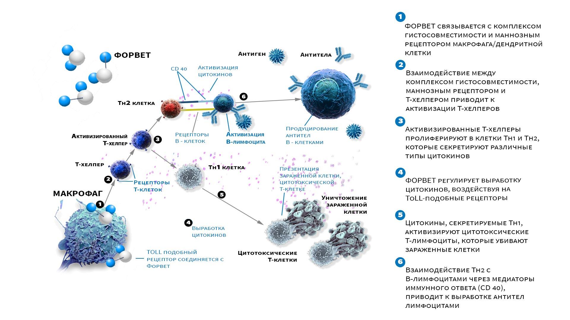Механизм иммуномодулирующего действия препарата «Форвет»
