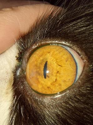 Острый герпетический конъюнктивит у кота через 7 дней лечения Форветом