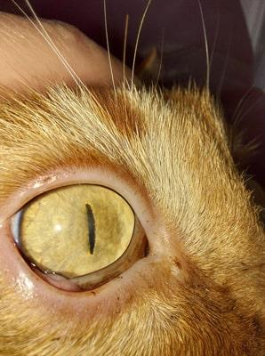 Острый герпетический конъюнктивит у кота через 5 дней лечения Форветом